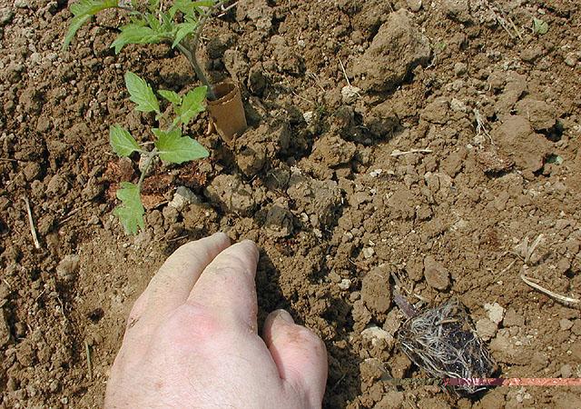 الخضراوات Gar030530n.jpg