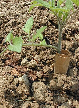 الخضراوات Gar030530o.jpg