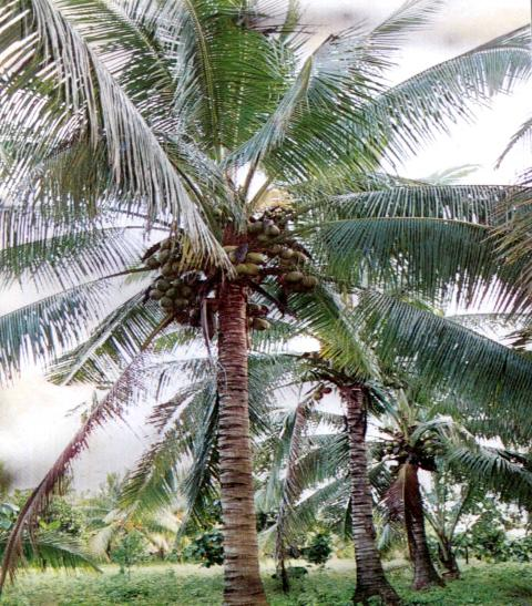 ���� ��� ����� �������� coconut tree klklllllll.jpg