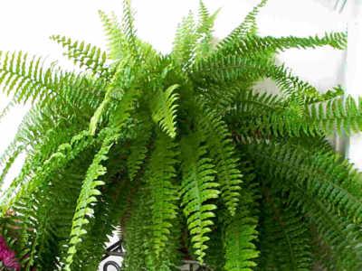 نباتات الزينة الخارجية بالصور nephrolepis.jpg