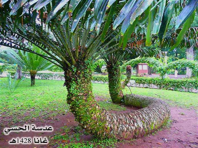 أشجار غريبه ياسبحان الله ghana023.jpg
