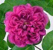 الثاني ;floribunda rose تم استنباط هذا النوع من الورد عام