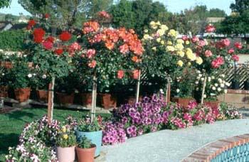 1940 نبات هذا النوع من الورد صغير و ازهار صغيرة