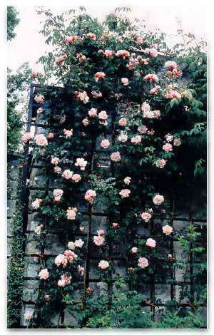 ويصل ارتفاع النبات الى المتر. ومن اهم الاصناف لهذا النوع
