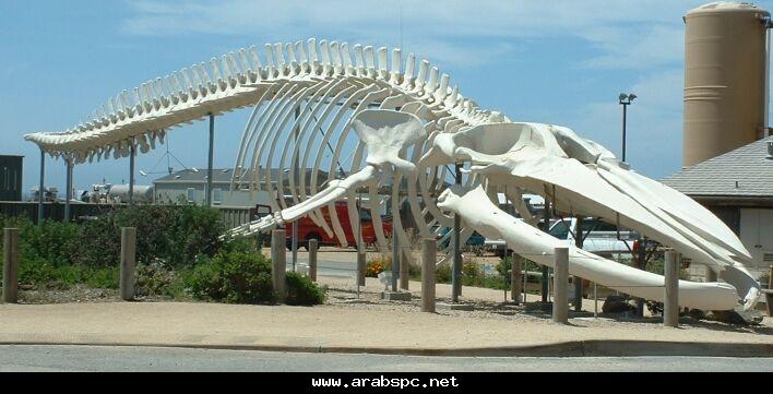 جسده، وجسمه الطويل يستدق في إتجاه الذنب وهذا الحوت العملاق